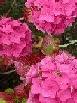 AAA   Hydrangeas