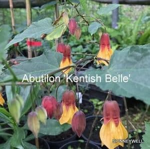Abutilon 'Kentish Belle'   1L