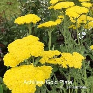 Achillea filipendulina 'Gold Plate'  9cm
