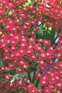 Achillea millefolium 'Cassis'  2L