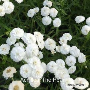 Achillea ptarmarica 'The Pearl'  2L