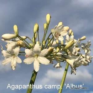 Agapanthus campanulatus 'Album'  5L