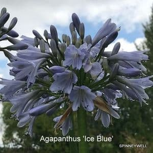 Agapanthus 'Ice Blue'  2L