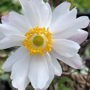 Anemone 'Snow Angel'  3L   SOLD OUT