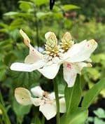 Anemopsis californica  2L