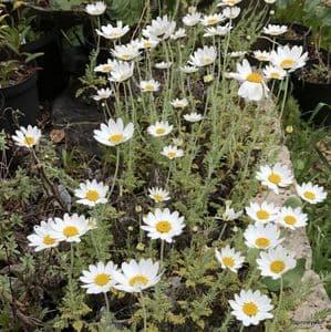 Anthemis cupaniana ssp cupaniana  2L