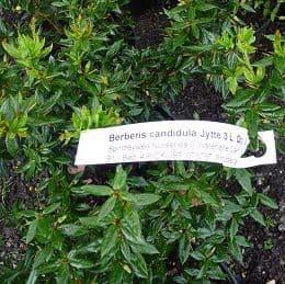 Berberis candidula 'Jyette'  3L