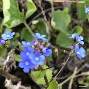 Brunnera macrophylla 2L