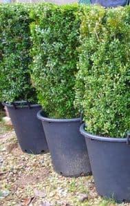 Buxus sempervirens Instant Hedging Unit per pot