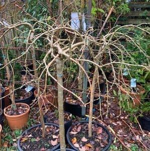 Caragana arborescens pendula 'Walker'  pea tree   15L   120cmH