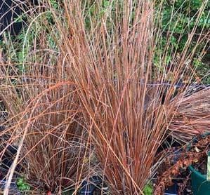 Carex buchanii   3L