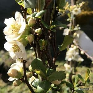 Chaenomeles 'Nivalis'  15L  80-100cmH COLLECTION ONLY