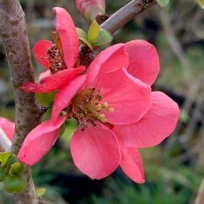 Chaenomeles 'Pink Lady'  2/3L