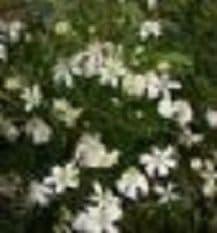 Clematis angustifolia 2LD