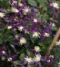 Clematis aromatica    2L
