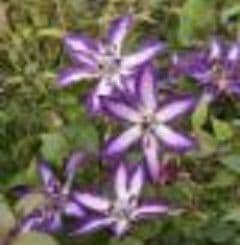 Clematis 'Astra Nova' PBR    4LD