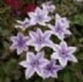 Clematis 'Best Wishes'  2LD