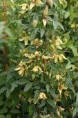 Clematis orientalis  2L