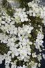 Clematis 'Spring Joy'  2LD