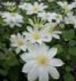 Clematis 'Wada's Primrose'   70cm