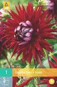 Dahlia 'Gerry Scott'   3L