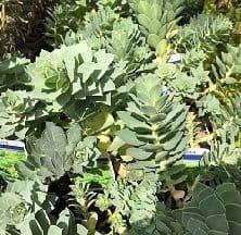 Euphorbia myrsinites AGM  9cm