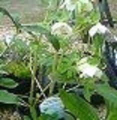 Helleborus ori  'Pure Clear White'  2L