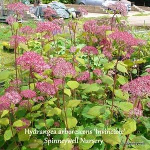 Hydrangea arborescens 'Invincible Spirit'  3L