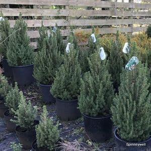 Picea glauca 'Conica'   20L