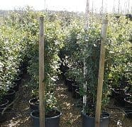 Quercus ilex (Evergreen Oak. Holm Oak)  45L SOLD OUT