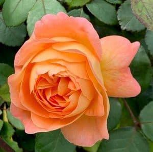 Rosa 'Lady Emma Hamilton'  English Rose  4LD SOLDOUT