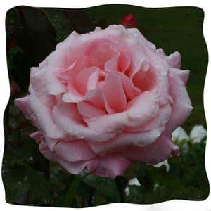Rosa 'New Dawn'  clg  4LD