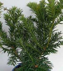 Taxus baccata 'Repandens'  **  1.5L  40cm
