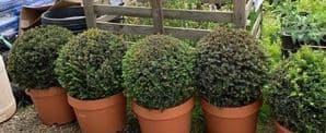 Taxus baccata Spheres  various sizes