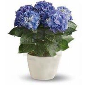 Μπλε ορτανσια / blue hydrangea