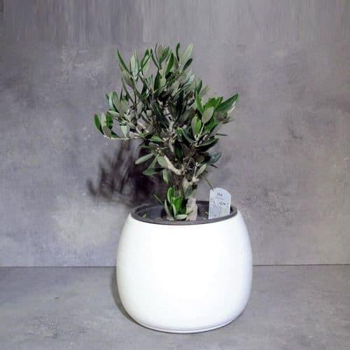 Ελιά - Olive Olea Europaea μέσα σε κεραμικό κασπό