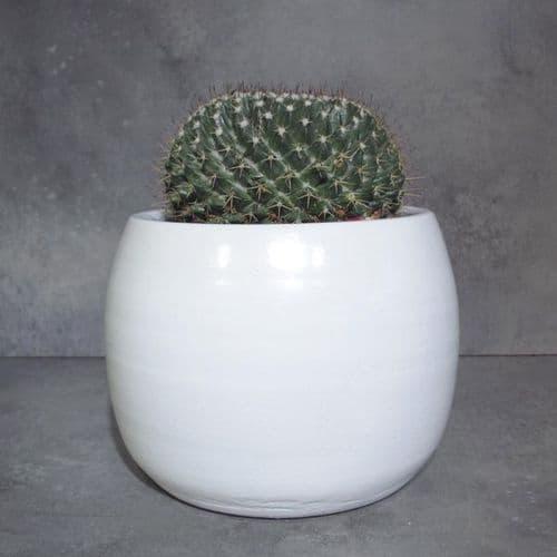 Κάκτος Rebutia που ανθίζει μέσα σε κεραμικό κασπό