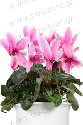 Pink cyclamen in a pot