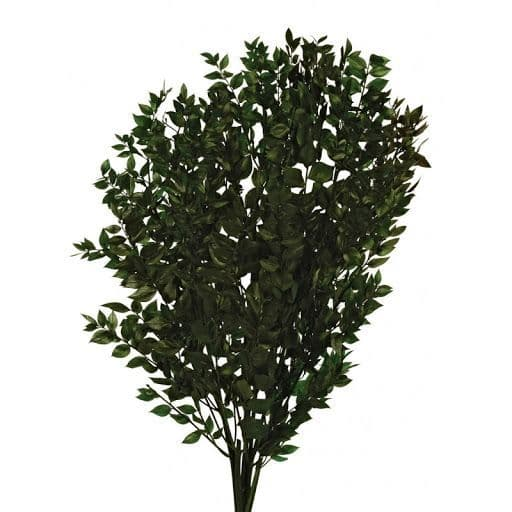 PRESERVED DARK GREEN RUSCUS