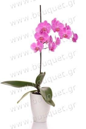 Single purple phalaenopsis orchid in a pot / Μονή μωβ ορχιδέα φαλαινόψις σε κασπό
