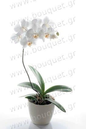 Single White phalaenopsis orchid in a pot / Μονή λευκή ορχιδέα Φαλαινόψις σε κασπό